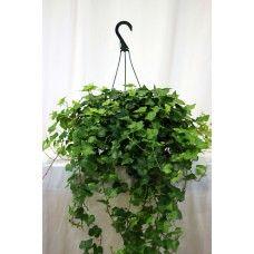 Hanging Ivy Basket