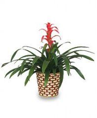 TROPICAL BROMELIAD PLANT Guzmania lingulata major