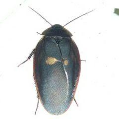 Big Black Beetle Mimic