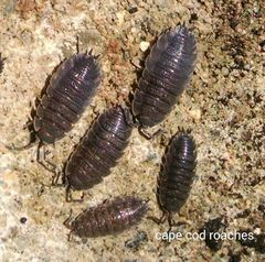 Grey Isopods