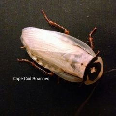 Ivory Head Roaches