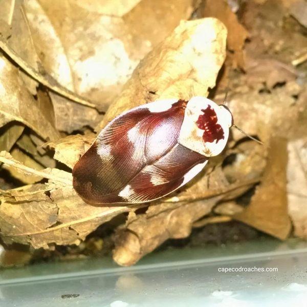 Centurion Roaches -RARE!