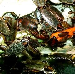 Giant Lobster Roaches