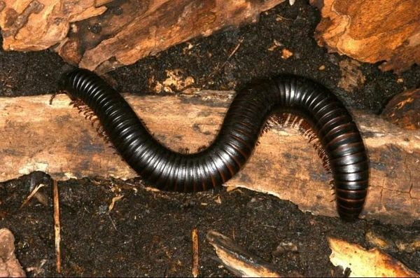 X. SOLD OUT X. African Giant Black Millipede (AGBs)