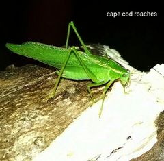 X. SOLD OUT X. Fork-Tailed Bush Katydids