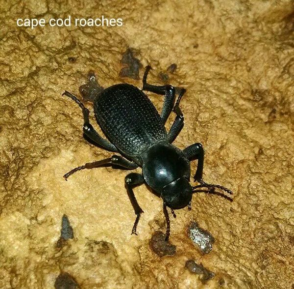 Black Death Feigning Beetle