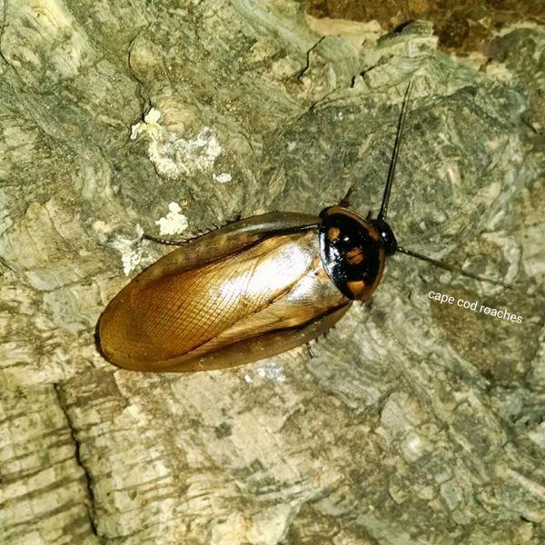 Headlamp Roaches