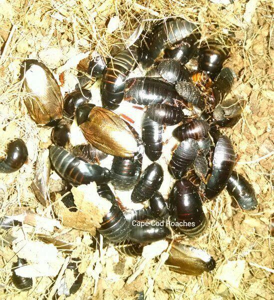 Surinam Roaches