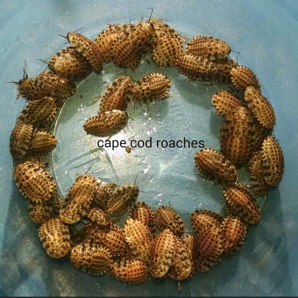 Small Discoid Roaches