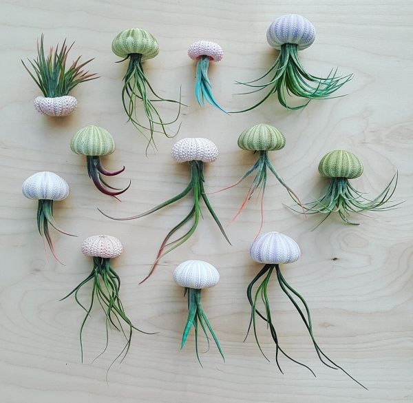 Sea Urchin Magnets - Air Plant - Set of 3