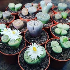 Bundle - Lithops - Living Stones - Set Of 10