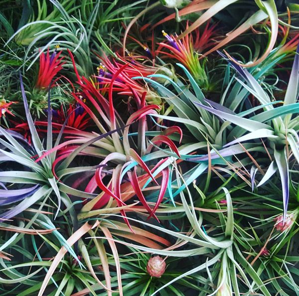 Bundle - Tillandsia - 50 Air Plants