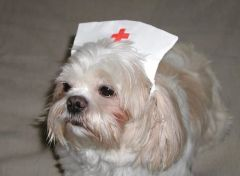 Dog Hats: White Cotton Nurses Cap - Cute Hat for Dogs Made in USA by Alexis