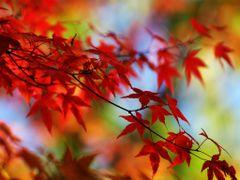 Autumn Rooibos