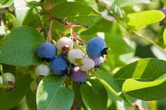 Green Blueberry
