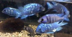 "Placidochromis phenochilus Sapphire 2"""