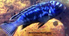 Metriaclima Msobo - med