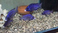 Placidochromis phenochilus Mdoka White Lips - juveniles