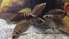 """Altolamprologus calvus Black Congo juvenile 1.5""""- 2"""""""