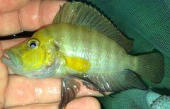 Altolamprologus compressiceps Goldhead wild