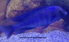 Crytocara moorii Blue Dolphin - medium