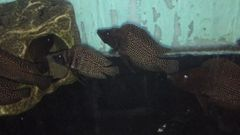 """Altolamprologus Calvus """"Inkfin"""" - juvenile"""