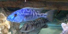 Tyrannochromis nigriventer juvenile