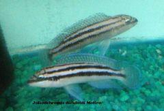 "Julidochromis Dickfeldi 1.5-2"""