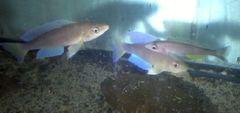 Cyprichromis Zonatus Chituta - juv.