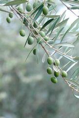 Olive Tree Odor Eliminator