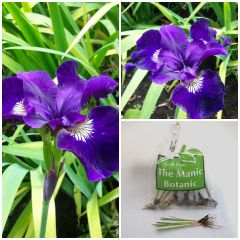 Iris sibirica 'Shirley Pope' - Siberian Iris