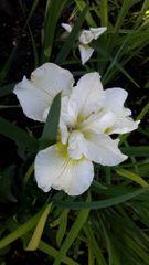 'Harpswell Happiness' - Siberian Iris