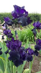 'Black Dragon' Tall Bearded Iris