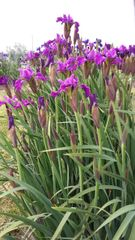 'Weinkonigin' - Siberian Iris
