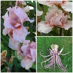 'Pink Kitten' Bearded Iris