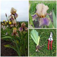 Tall Bearded Iris 'Benton Olive' Rare Historic Iris