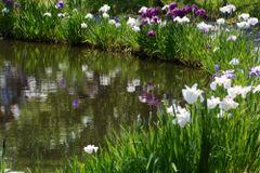 Iris ensata - Japanese Water Iris