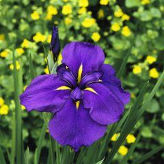 Iris ensata - Japanese Iris