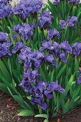 'Bambury Ruffles' Standard Dwarf Bearded Iris