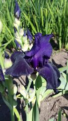 'Hello Darkness' Tall Bearded Iris