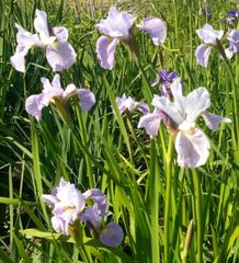 'Lavendelturm' - Siberian Iris