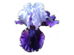 'Hellcat' Intermediate Bearded Iris