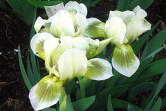 'Green Spot' Standard Dwarf Bearded Iris