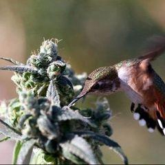 MarijuanaFAQs.com