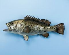 "TT602 Grouper 29"" Fish Mount"