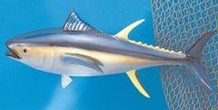 "TT303 Yellow Fin Tuna 12"" Fish Mount"