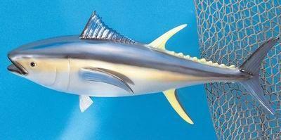 """Yellow Fin Tuna 20"""" Fish Mount"""