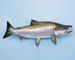 "TT604 Coho Salmon 27"""