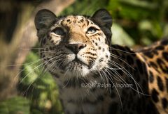 Leopard under tree