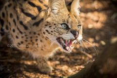 Serval Growling Up